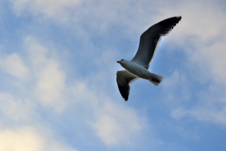Seagull Flying Overhead